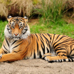Tigers and Community